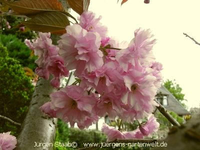 Japanische bl tenkirsche japanische nelkenkirsche lb01 for Japanisches schilf