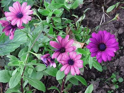 bornholmmargerite hhs32 osteospermum ecklonis syn dimorphotheca ecklonis. Black Bedroom Furniture Sets. Home Design Ideas