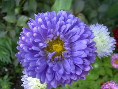 Sommerastern pflanzen pflanzen f r nassen boden for Was hilft gegen fliegen in blumenerde