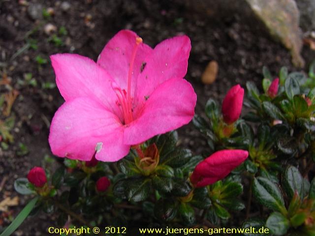 japanische azalee ja07 rhododendron obtusum 39 canzonetta 39. Black Bedroom Furniture Sets. Home Design Ideas