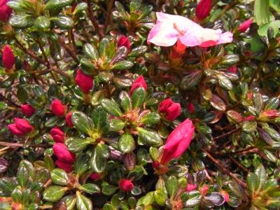 Japanische azalee ja07 rhododendron obtusum 39 canzonetta 39 for Japanisches schilf