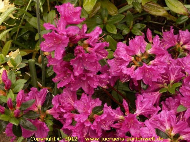 Japanische azalee ja06 rhododendron obtusum 39 favorit 39 for Japanisches schilf