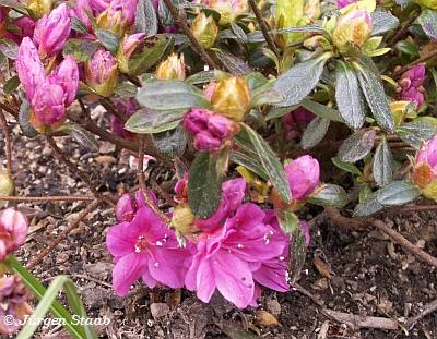 Japanische azalee ja04 rhododendron obtusum 39 georg arends 39 for Japanisches schilf