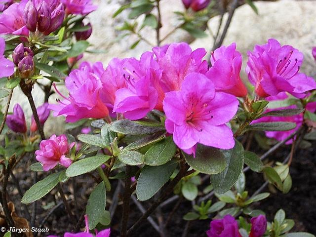 Japanische azalee ja03 rhododendron obtusum 39 hans scholl 39 for Japanisches schilf