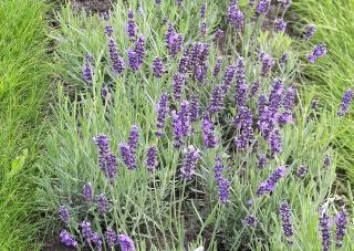Lavendelstrauch ks10 lavendula - Lavendel zimmerpflanze ...